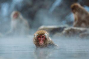 monkey, hot spring
